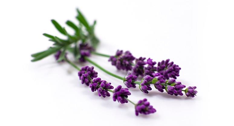 Beneficios de la lavanda the beauty effect - Cuidados planta lavanda ...