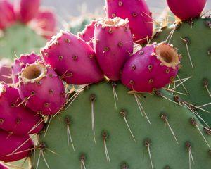 cactus con tunas